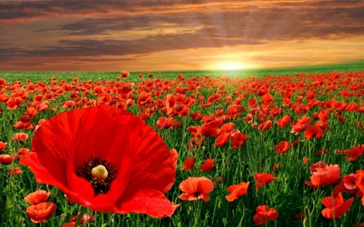 1854-poppies-flowers-800x600